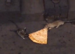 Two Rodents Fight Over Soggy Slice In Latest Pizza Rat Sensation