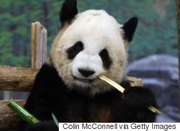 Le panda géant n'est plus en danger d'extinction