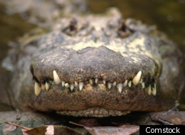 2 Alligators Seized