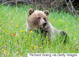Alberta's Grizzly Population Is On The Rise
