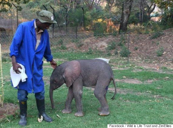 orhpaned zimbabwe elephant