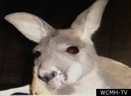 Kangaroo At Exotic-animal Farm Attacks Ohio Man (VIDEO)