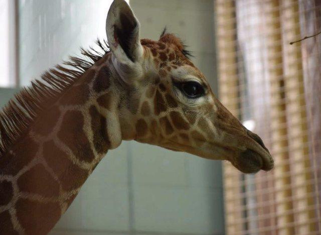 calgary baby giraffe