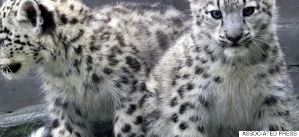 Five Ways That WWF Is Creating Coexistence Between Snow Leopards And People