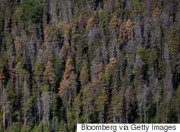 Mountain Pine Beetles Are Closer To Being Eradicated
