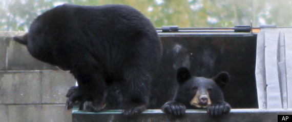 BEARS DUMPSTER DIVING DINER