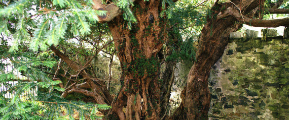 ARBRE FORTINGALL