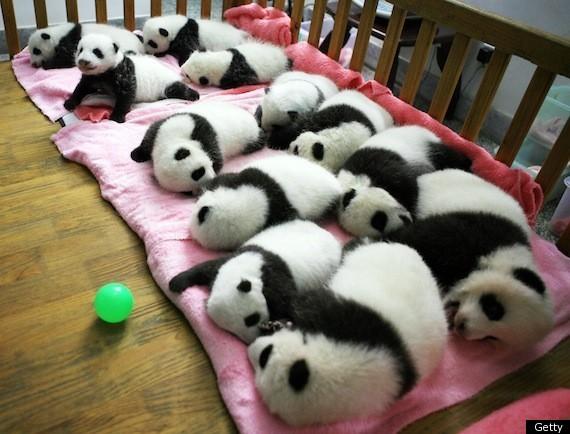 Baby Pandas Snuggle, Nap