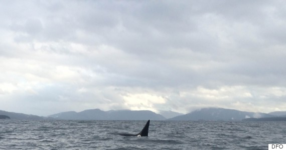 transient killer whale