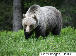 Grizzly Bear Eats Grizzly Bear In Banff National Park