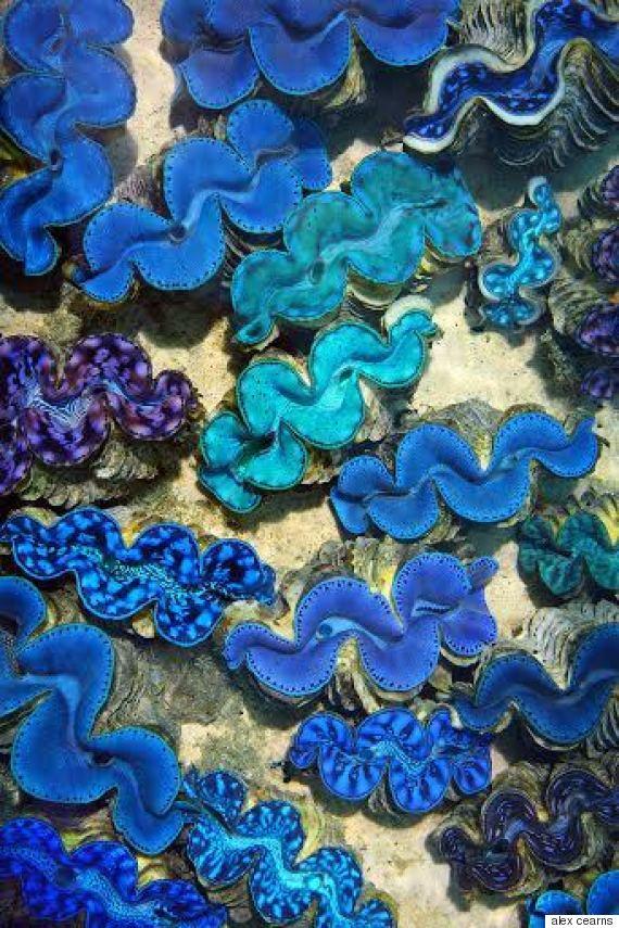 blue clams