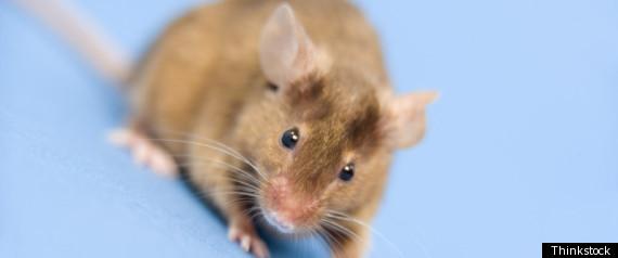 Rat Digital Cerebellum