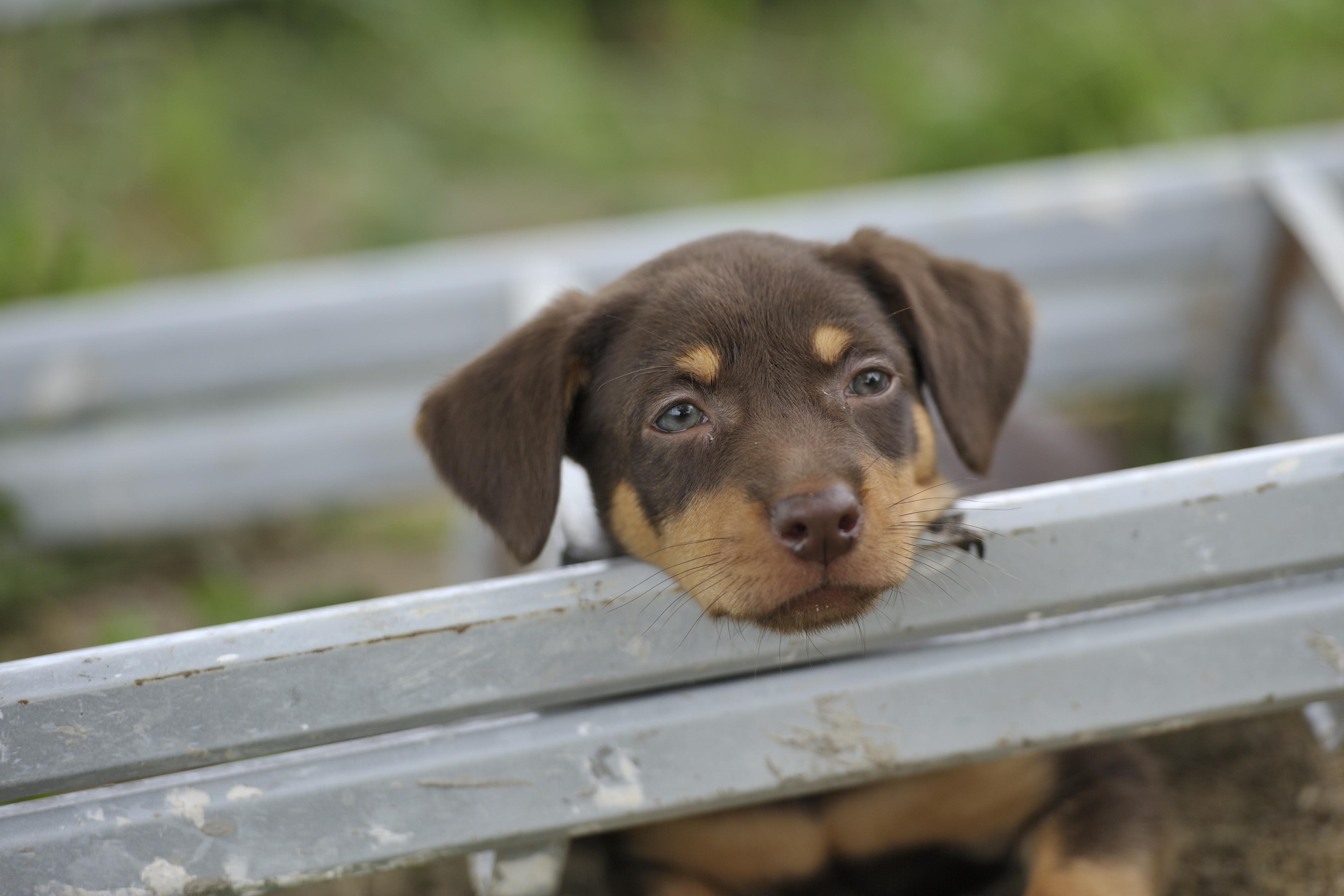 kelpie dog
