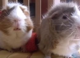 Chatty Guinea Pigs Have A Conversation About Pumpkin Spice Lattés
