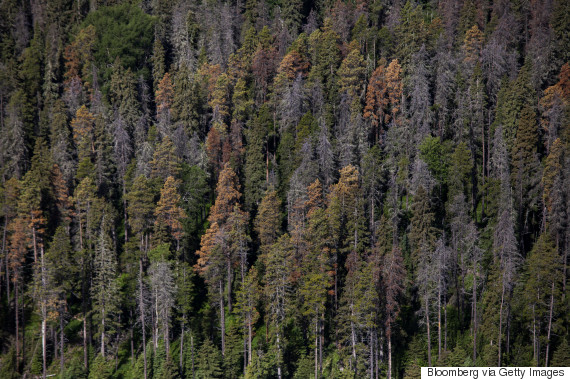 mountain pine beetle essays Mountain pine beetles killed over 200 million mature pine trees in british columbia between 1972 and 1988 at their peak in 1984.
