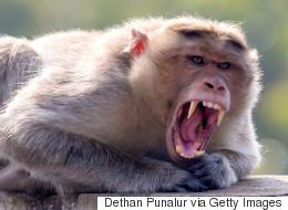 Si les singes parlaient, voici à quoi ressemblerait leur voix