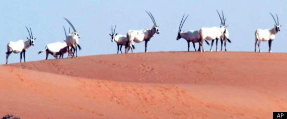 Arabian Oryx, Root Of Unicorn Legend, Making Comeback