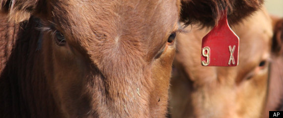 Bovine High Altitude Disease Studied In New Mexico Cattle