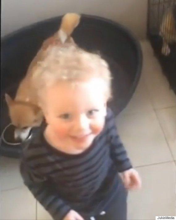toddler corgis