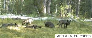 WOLF CALIFORNIA