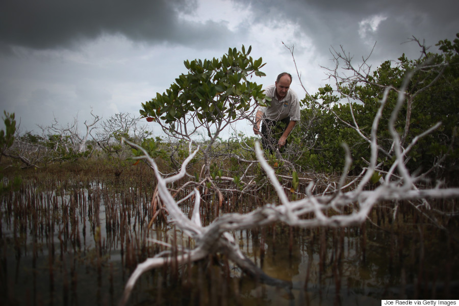 mangrove climate change