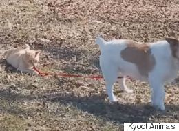 Naughty Cat Trolls Dog, Refuses To Let Go Of His Lead