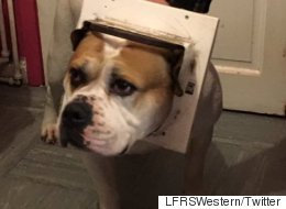Horny Bulldog Gets Head Stuck In The Pursuit Of Romance