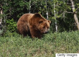 3rd Bear Found Dead From Poaching In Alberta This Fall