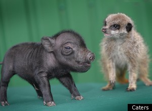 Real Life Pumbaa Timon
