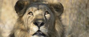 SHOCKED LION