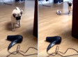 Cute Pug Is Inexplicably Terrified Of Hairdryer