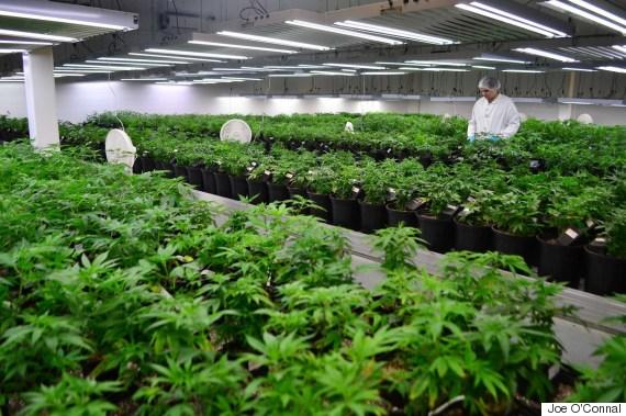 tweed marijuana
