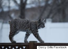 Bobcats Take Over Calgary Family's Backyard For Playtime