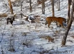 Tigre se hace amigo de la cabra que se supone iba a ser su comida