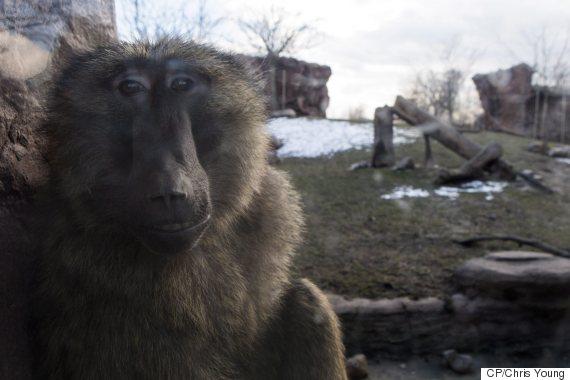 toronto zoo baboon fight 1