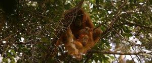 Monkies In Tree