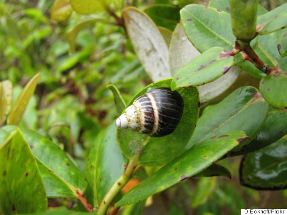 oahu tree snails