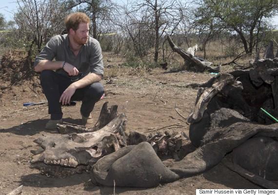 prince harry rhino