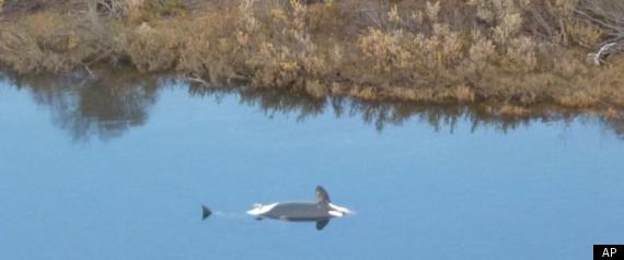 ALASKA NUSHAGAK RIVER WHALE ORCA KILLER WHALE DEAD