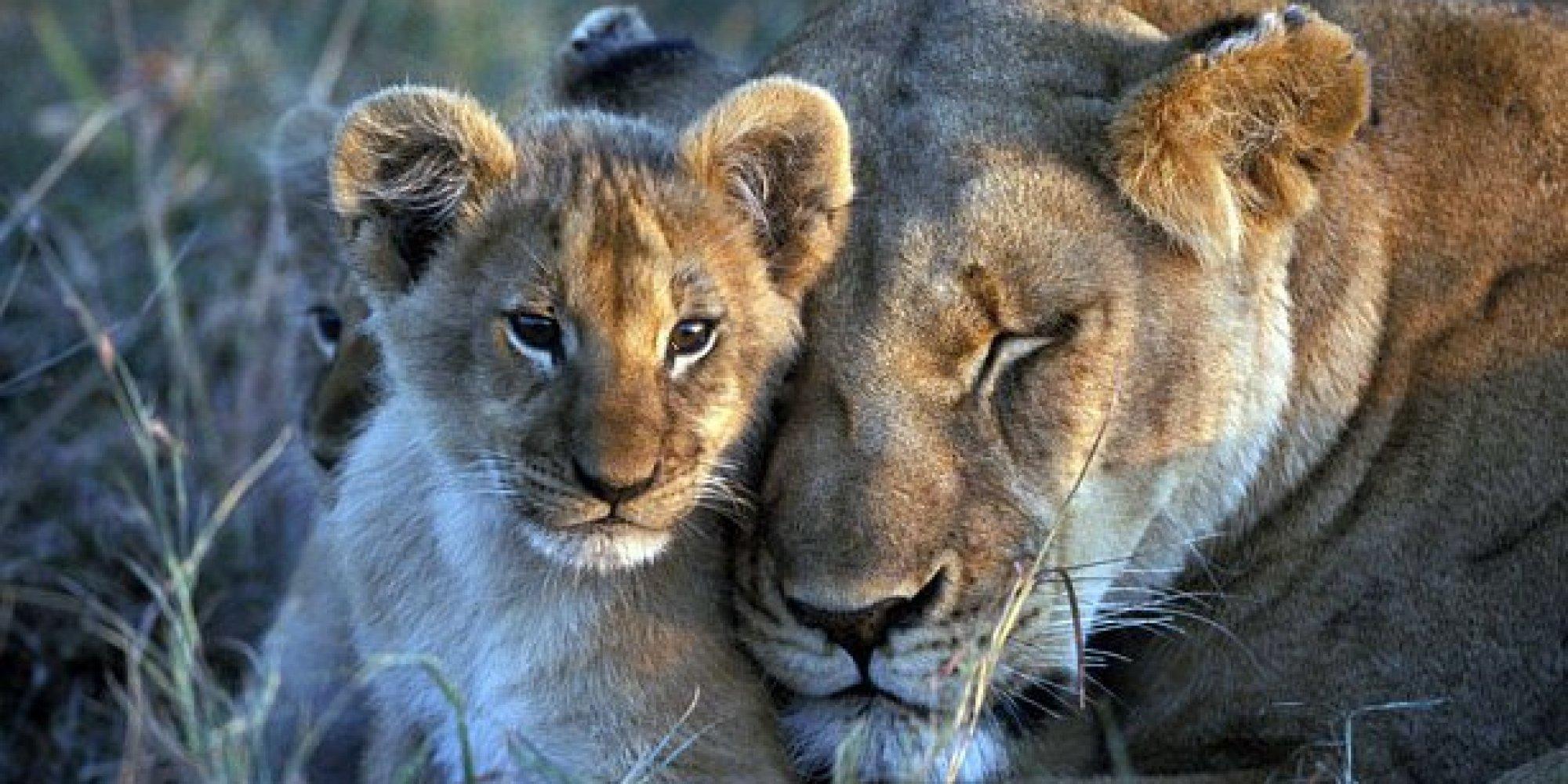 BBC Big Cat Diary Lion...