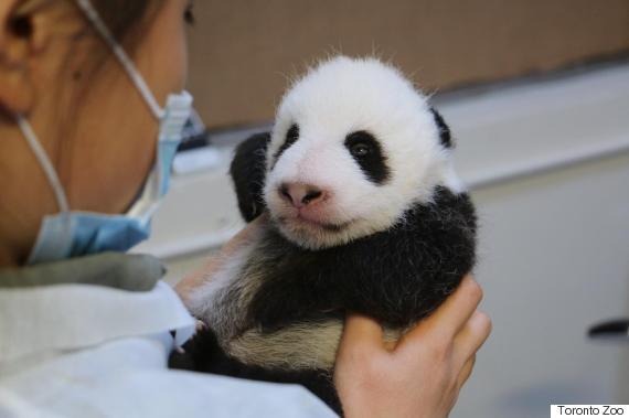 panda open eyes