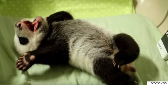 panda cub roll