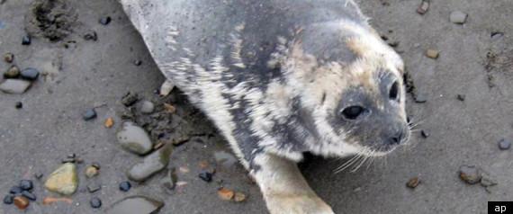 ALASKA RINGED SEALS