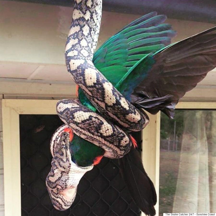python parrott