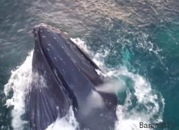 In den Fjorden von Norwegen: Spektakuläre Luftaufnahmen zeigen Buckelwale bei der Jagd