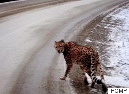 Couple Charged After Cheetah Spotted Wandering B.C. Highway