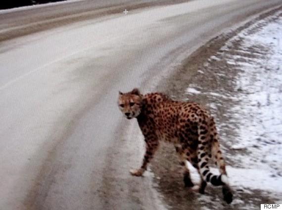bc cheetah
