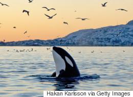 National Energy Board Fails Killer Whales