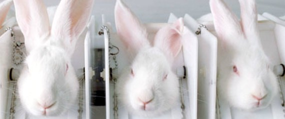 ANIMAL TESTING RABBIT