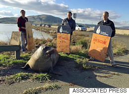 Huge Elephant Seal Refuses To Budge During Stand-Off With Rescuers